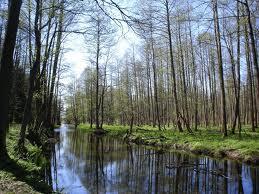 bosque de bielowieza